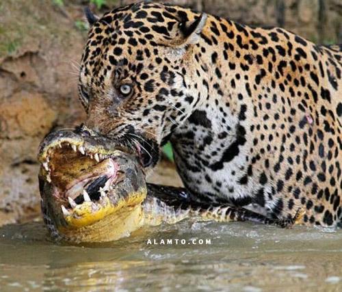 درگیری پلنگ و تمساح + عکس
