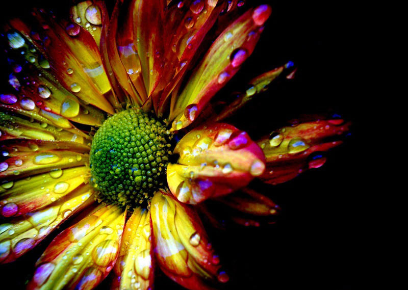 تصاویری از گل های زیبا و نایاب ..