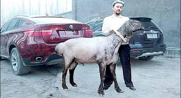 معروف ترین گوسفند جهان